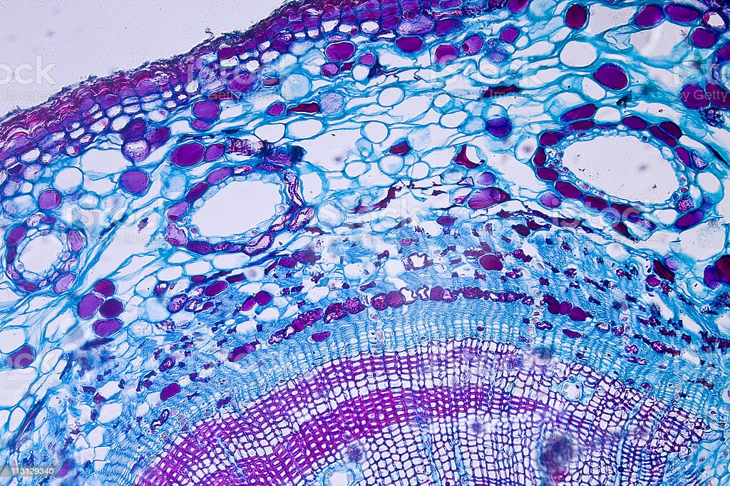 Side Microscope Slide 200x Pine Wood royalty-free stock photo