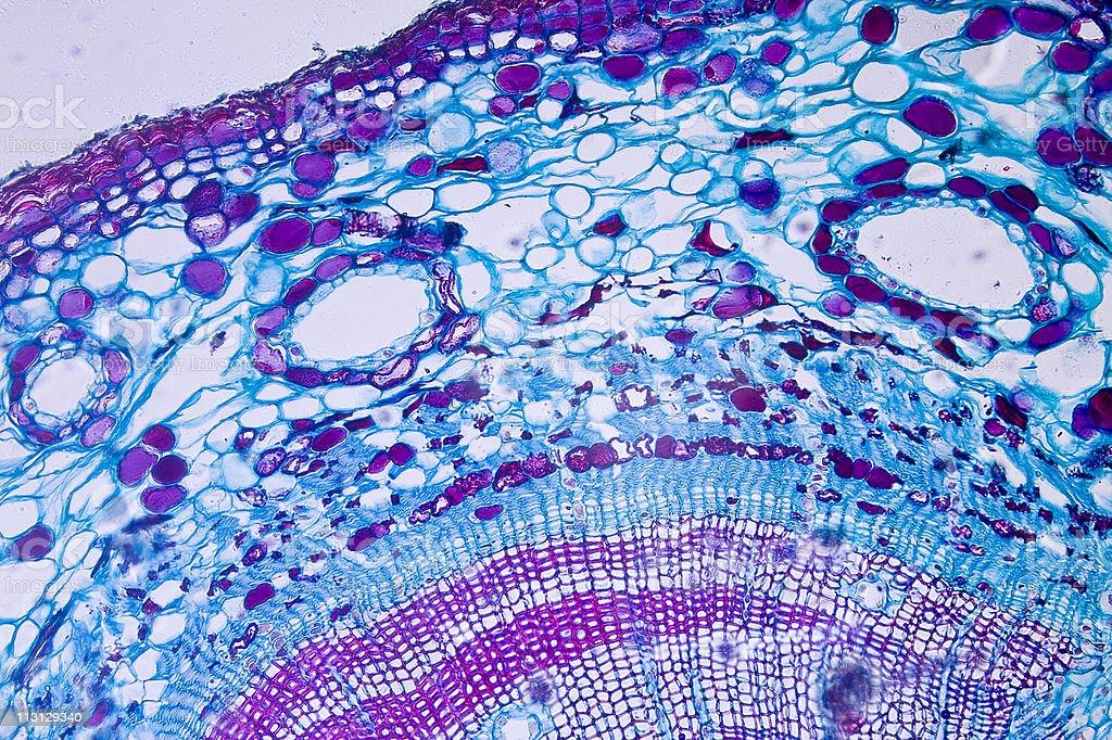 Side Microscope Slide 200x Pine Wood stock photo