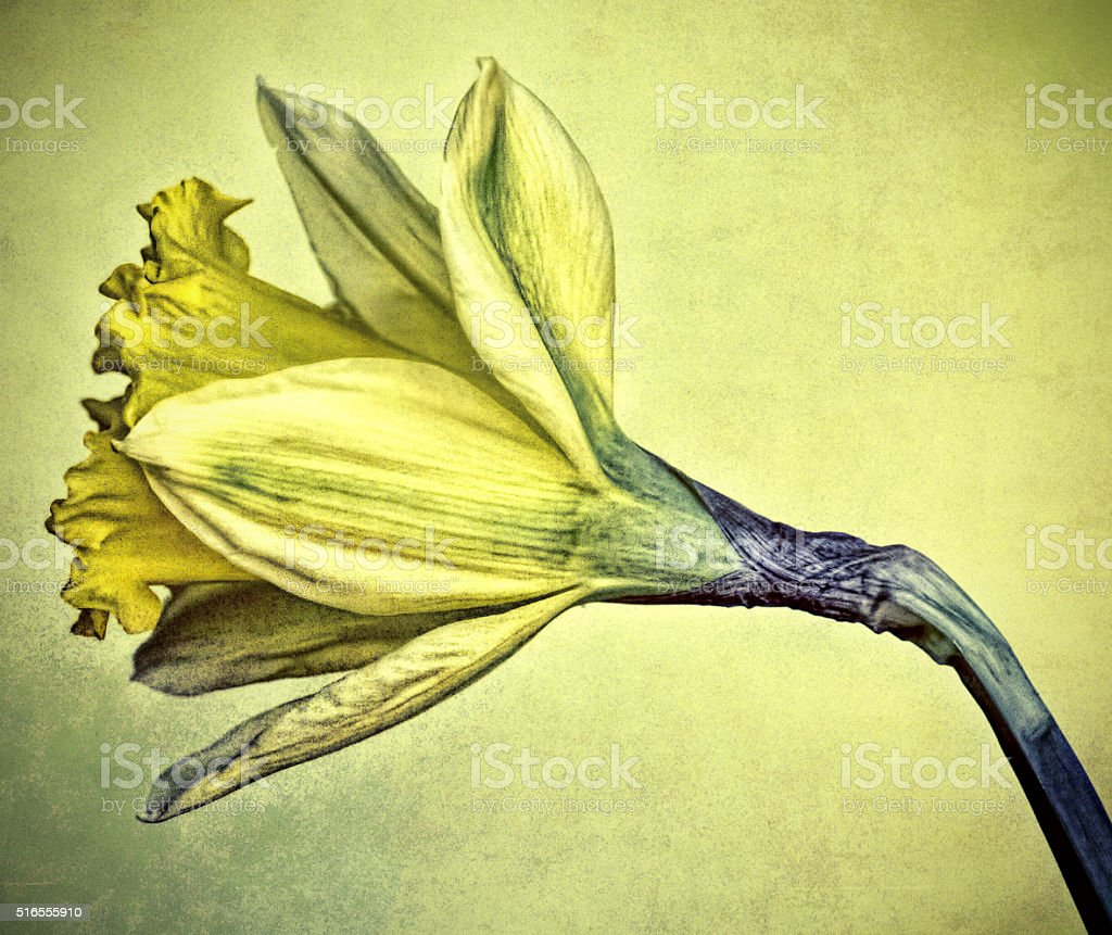 Side of daffodill stock photo