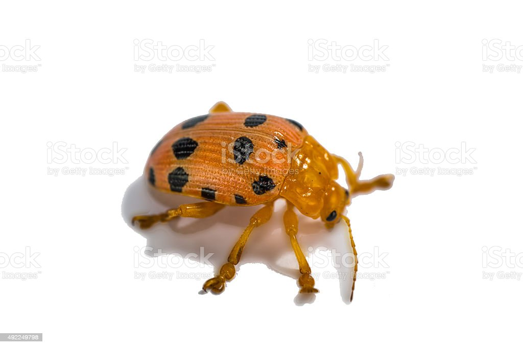 Side of Little Beetle (Epilachna) resting on white background stock photo