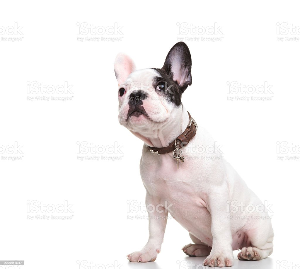 side of little french bulldog puppy sitting and looking up stock photo
