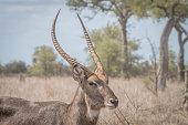 Side profile of a big male Waterbuck.