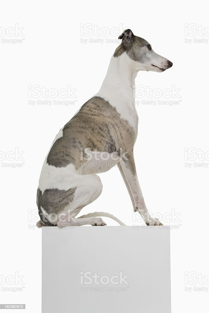 Side profile of a gray and white Whippet sitting on a podium stock photo
