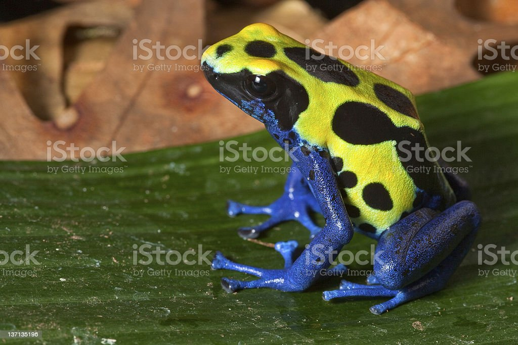Side profile of a poison dart frog sitting on a leaf stock photo