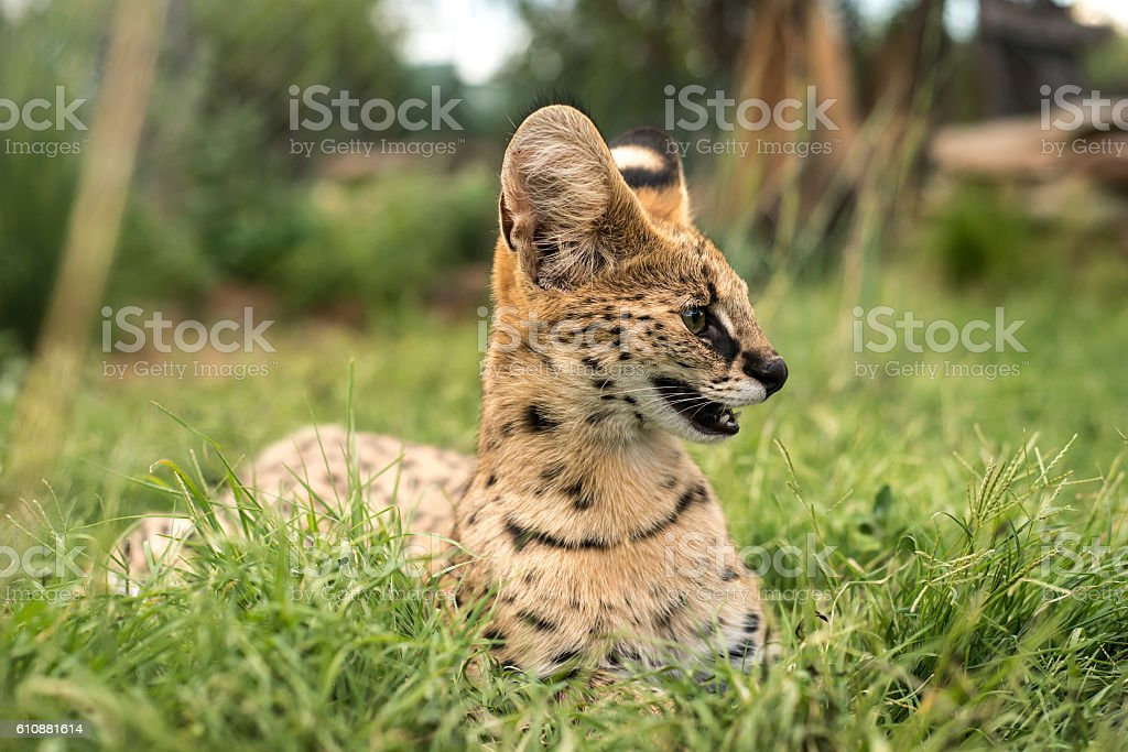 Side profile of a serval stock photo