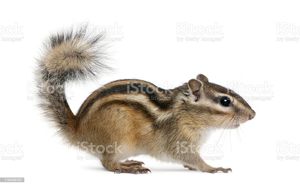 Side profile of a standing Siberian chipmunk stock photo