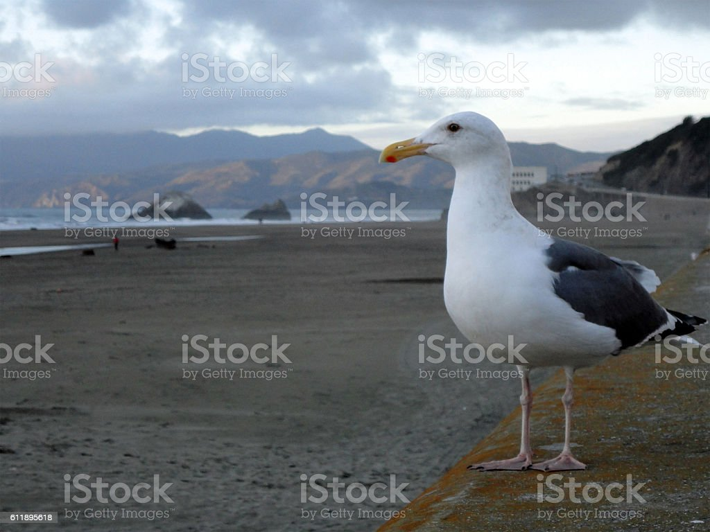 Side Profile of a Western Gull at beach stock photo
