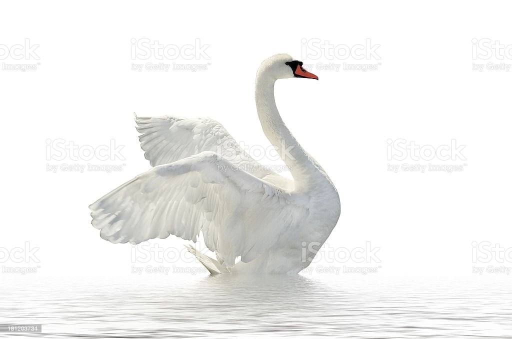 Side profile of a white swan on white waters and background stock photo