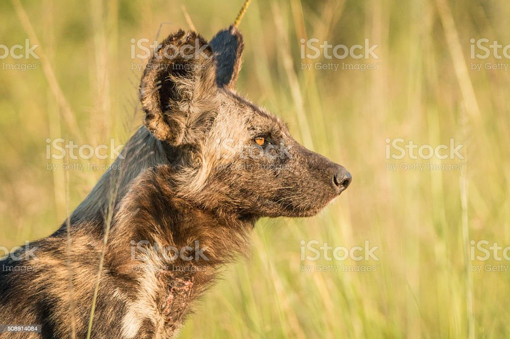 Side profile of a Wild Dog stock photo