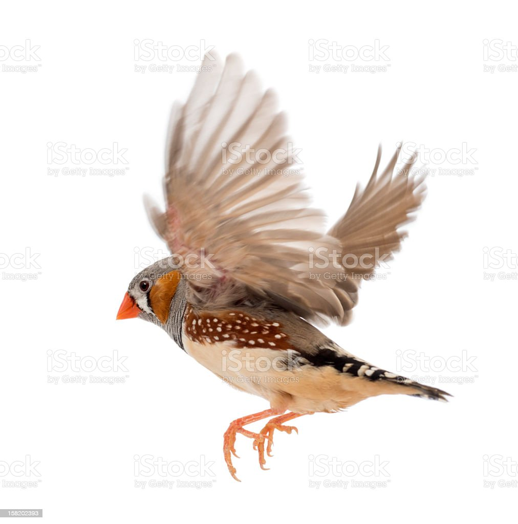 Side profile of a Zebra Finch flying over a white background stock photo
