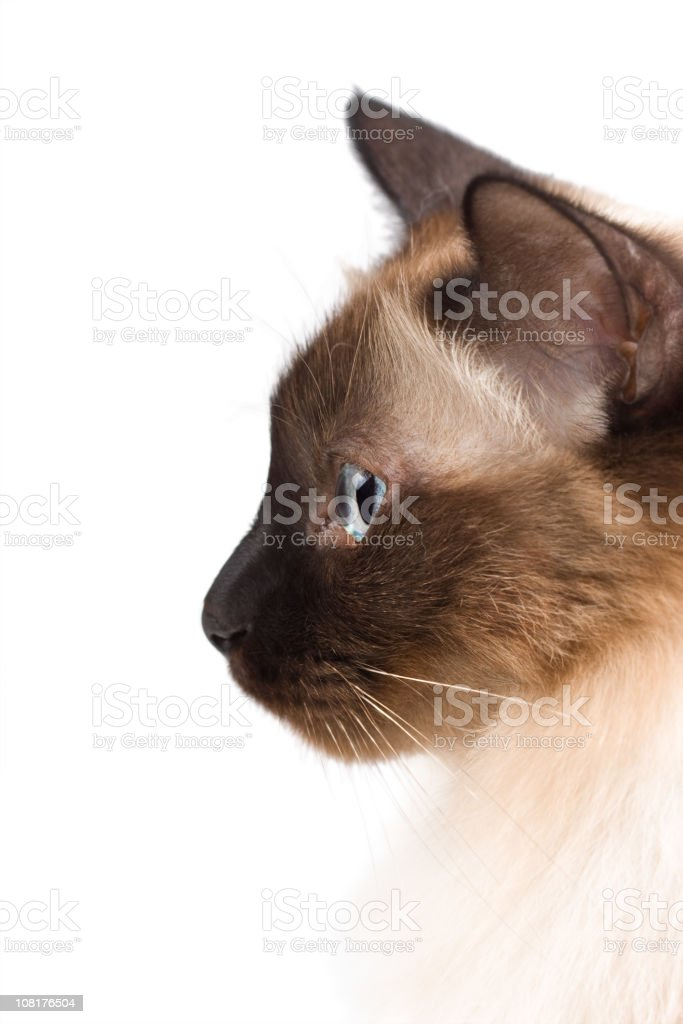 Side Profile of Birman Cat with Blue Eyes royalty-free stock photo