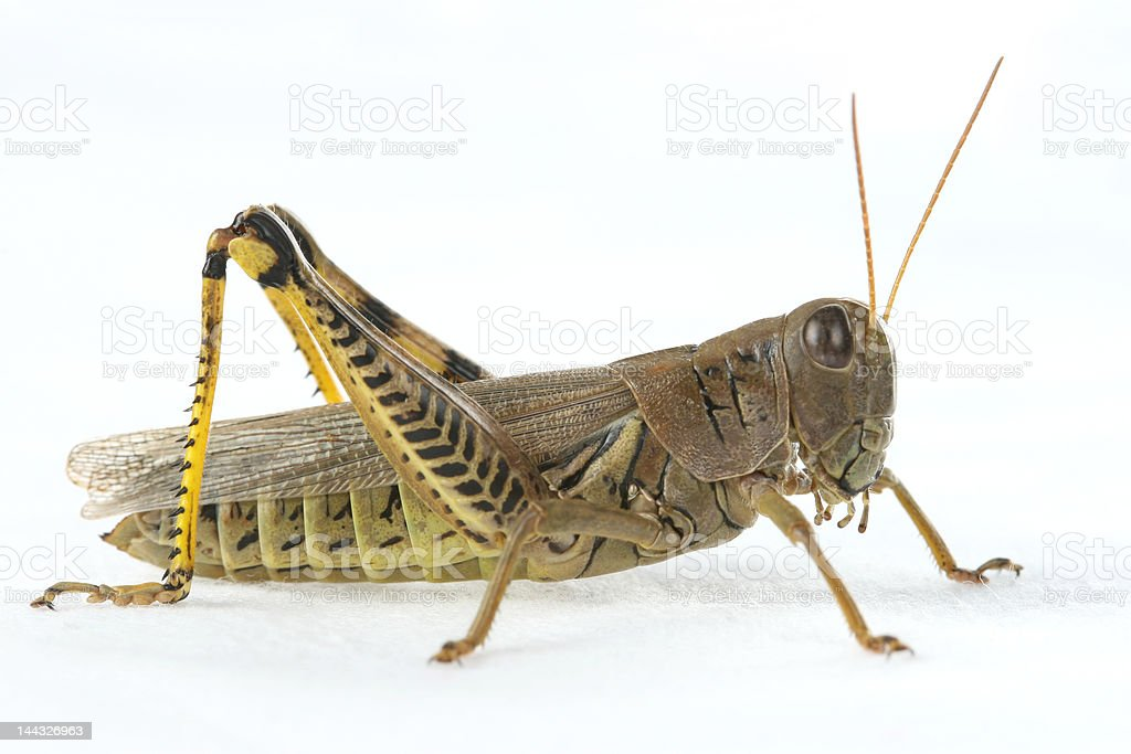 Side profile of Grasshopper stock photo