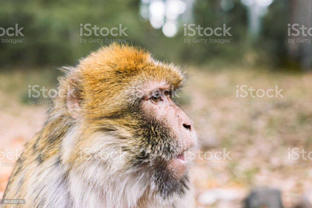 Side profile of the face, barbary macaque monkey, Ifrane, Morocco stock photo