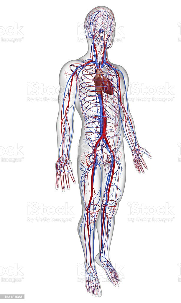 side view circulatory system with heart stock photo