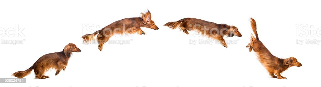 Side view Composition of a Dachshund, 4 years old, jumping stock photo