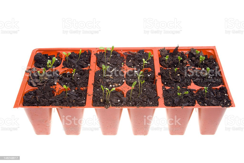 Side View Daisy Seedlings Sprouting in Pots, Isolated White Background royalty-free stock photo