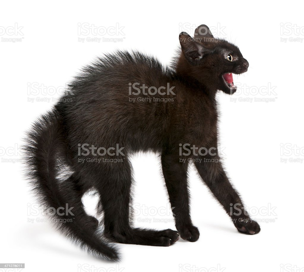 Side view Frightened black kitten fur standing up mouth open royalty-free stock photo