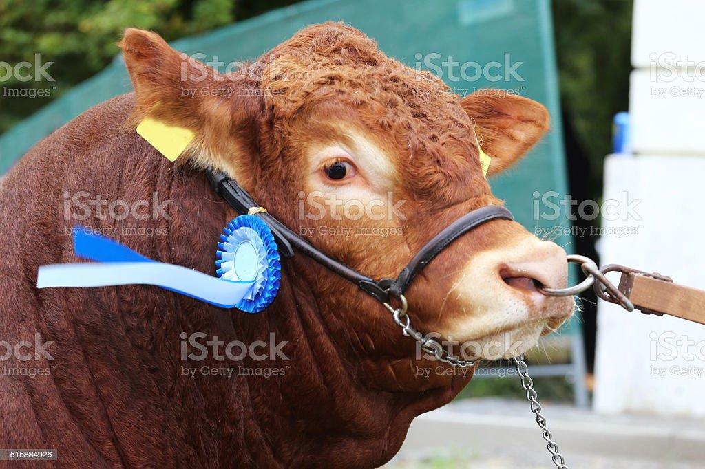 Side view head shot of an award winning cattle cow stock photo