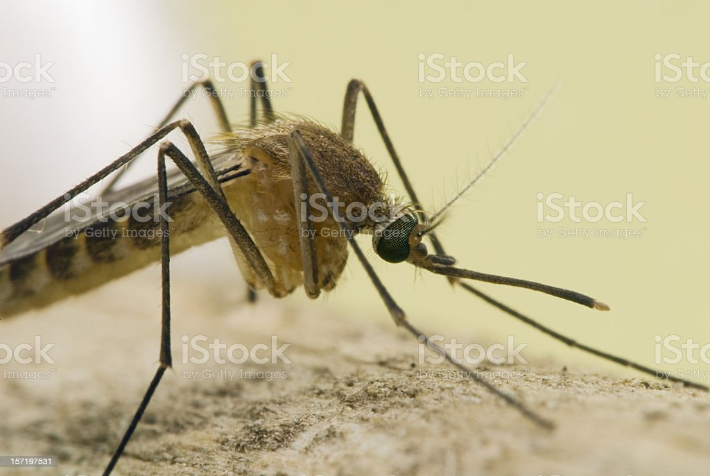 Side View Mosquito Portrait 2 royalty-free stock photo