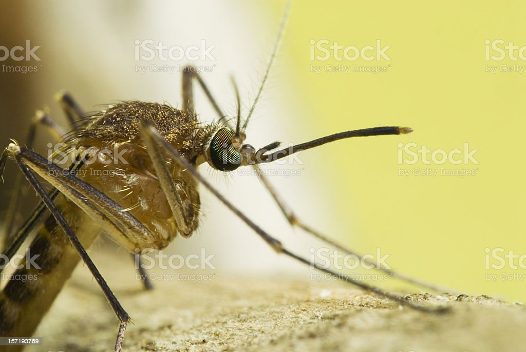Side View Mosquito Portrait royalty-free stock photo