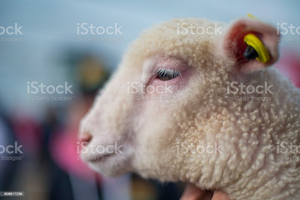 Side view of a baby lamb stock photo