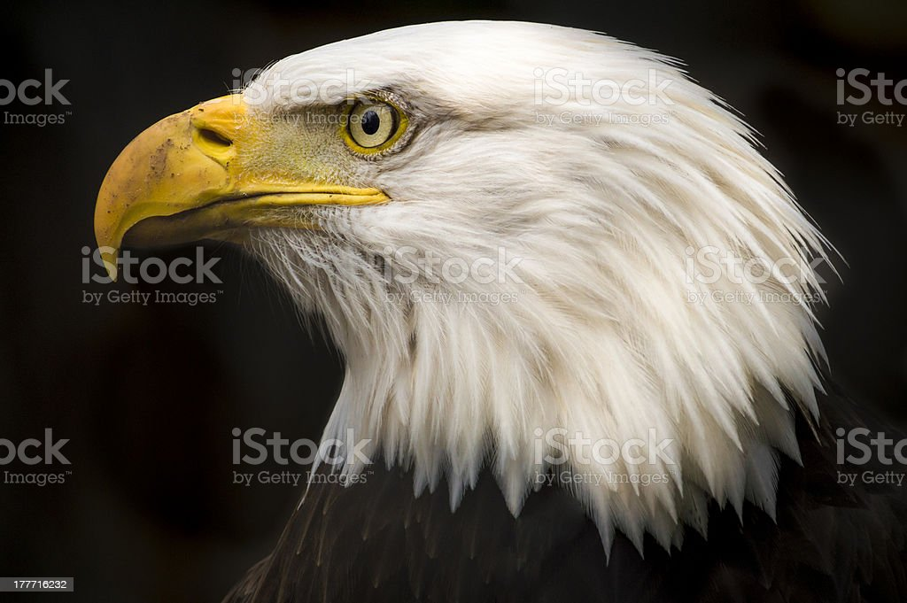 A side view of a bald eagle looking outwards stock photo