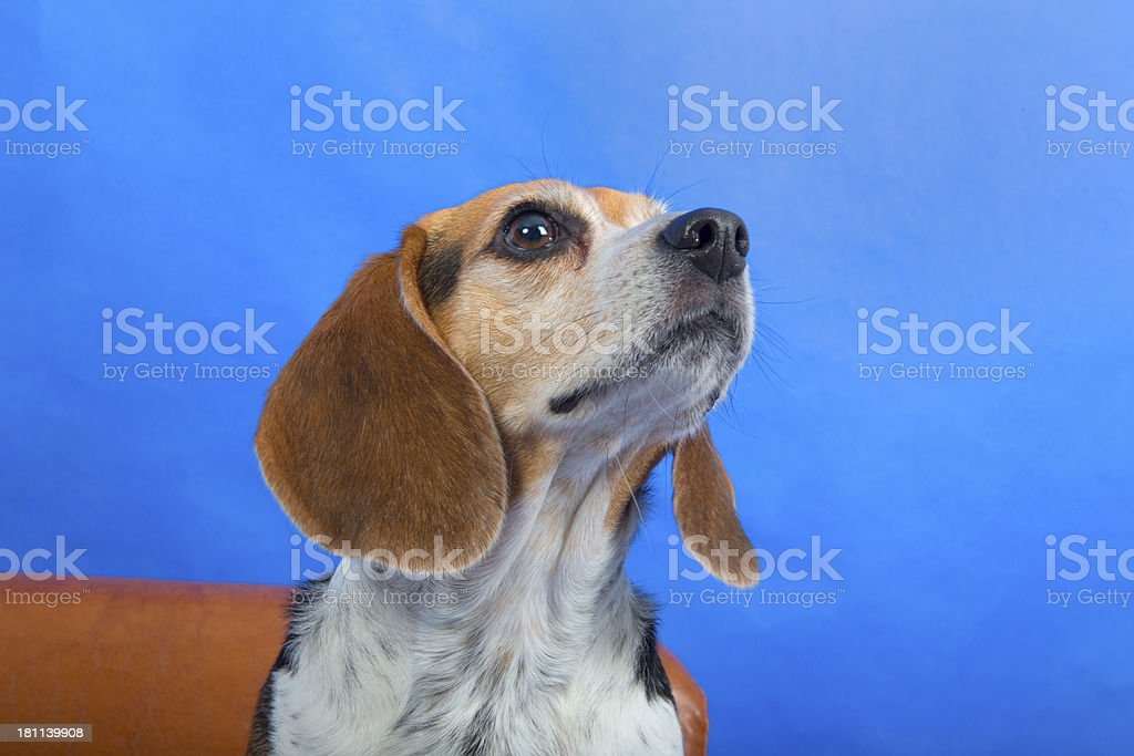 Side view of a Beagle Dog royalty-free stock photo