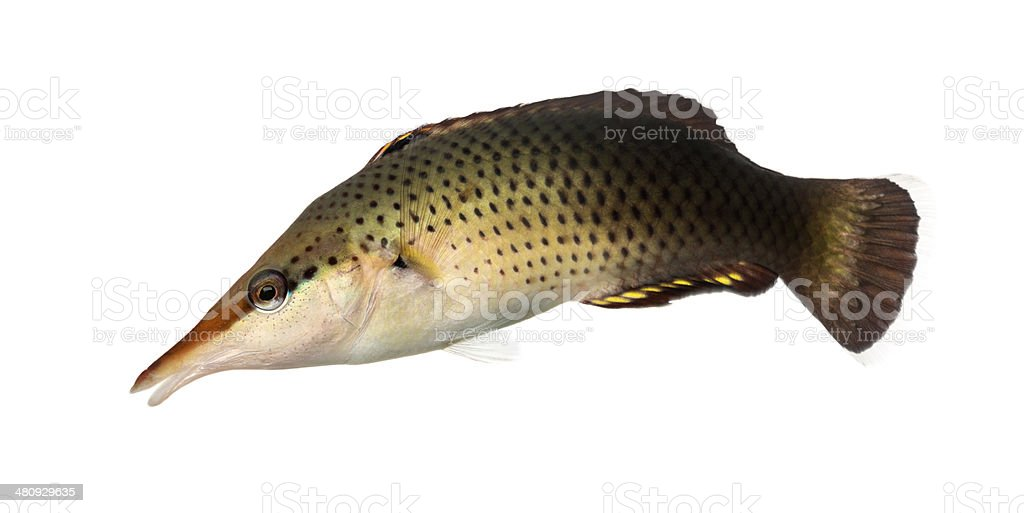 Side view of a Bird wrasse female swimming down stock photo