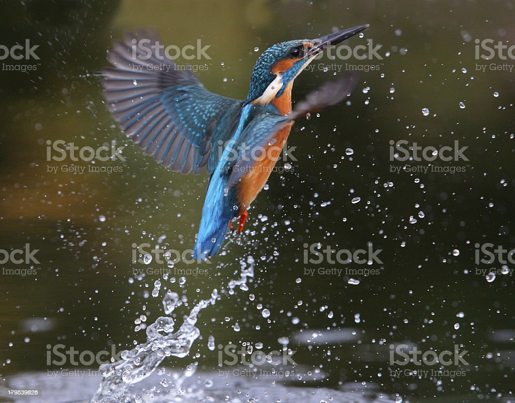 Side view of a blue and orange Kingfisher bird on water stock photo
