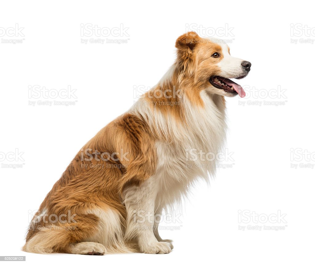 Side view of a Border Collie sitting and panting stock photo