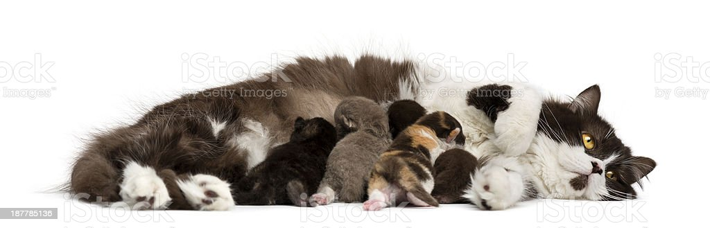 Side view of a British Longhair lying feeding its kittens stock photo