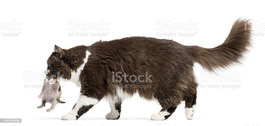 Side view of a British Longhair walking, carrying kitten royalty-free stock photo