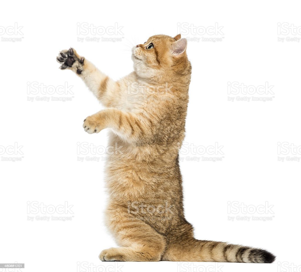 Side view of a British shorthair on hind legs stock photo