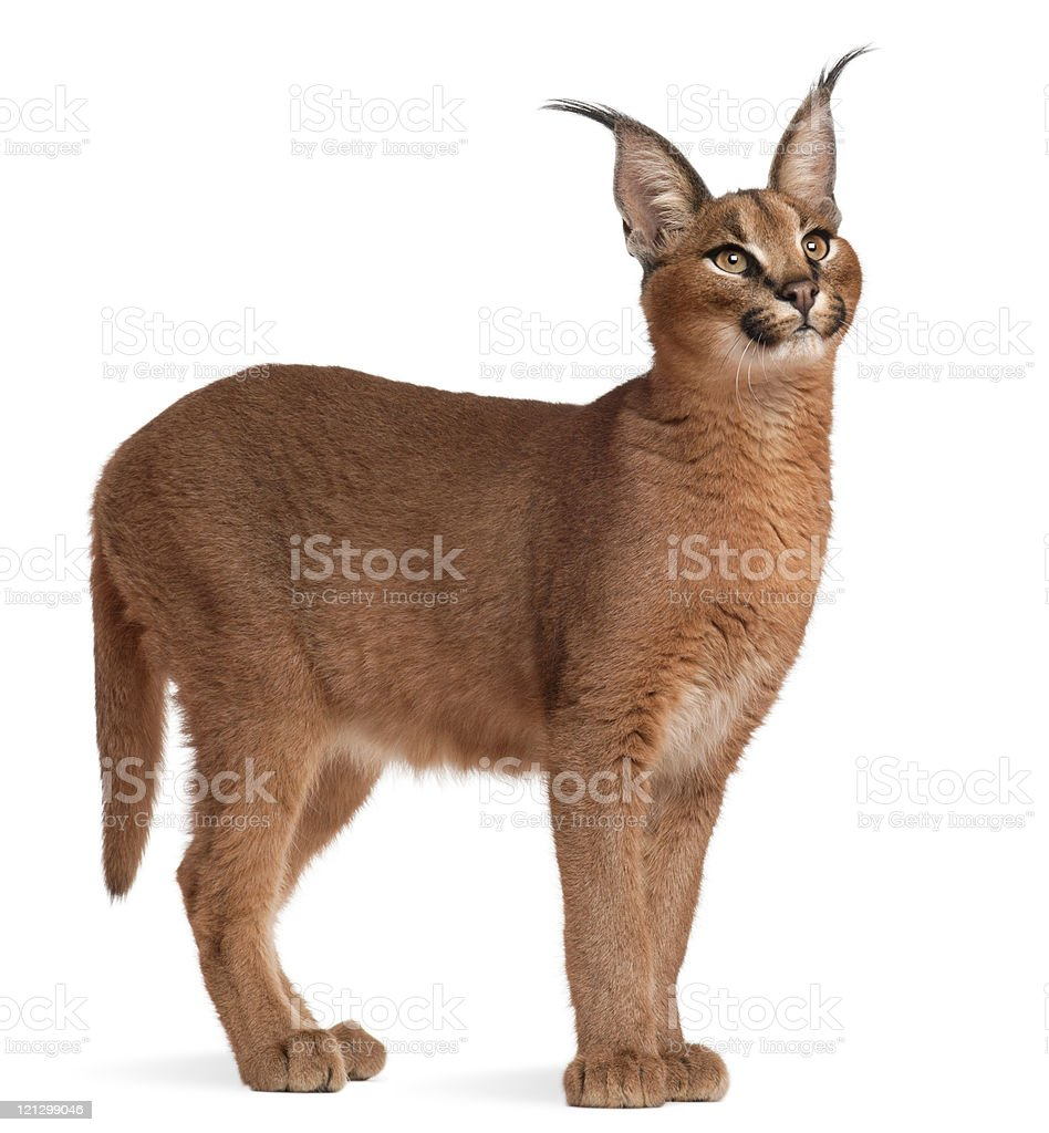 Side view of a Caracal, six months old, white background. stock photo