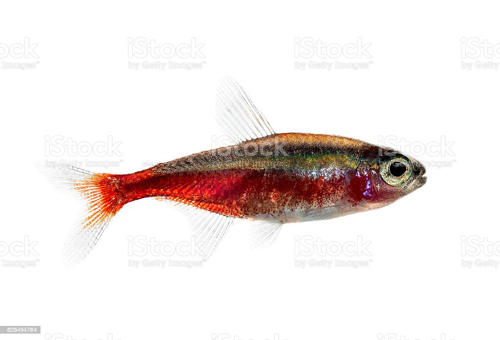 Side view of a cardinal tetra isolated on white stock photo