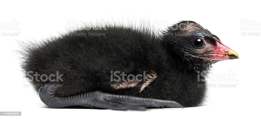 Side view of a Common Moorhen lying, 4 days old stock photo