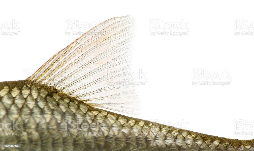 Side view of a Common roach' dorsal fin stock photo
