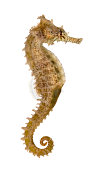 Side view of a Common Seahorse, Hippocampus kuda