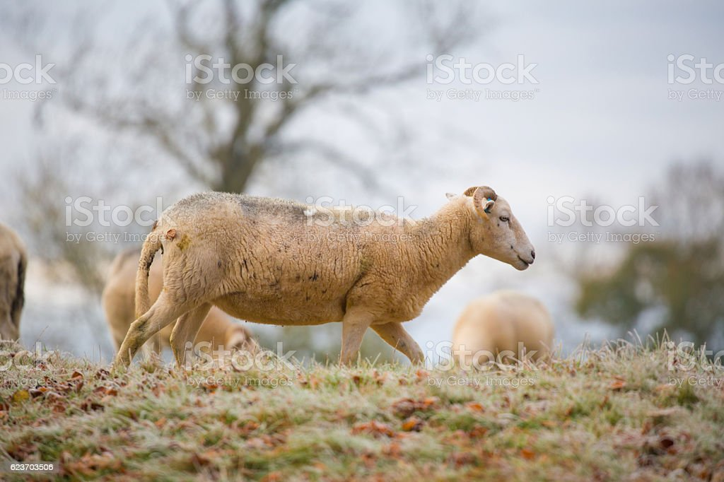Side view of a Cotswold Sheep walking stock photo
