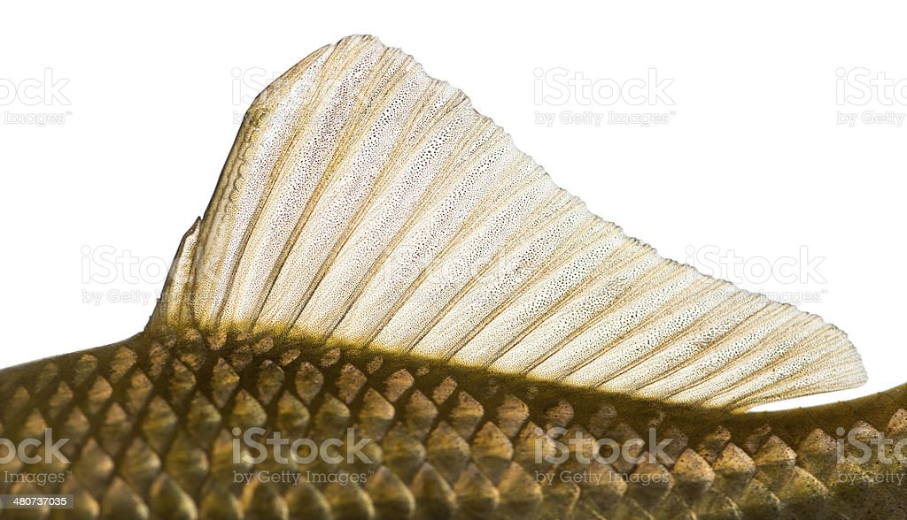 Side view of a Crucian carp's dorsal fin royalty-free stock photo