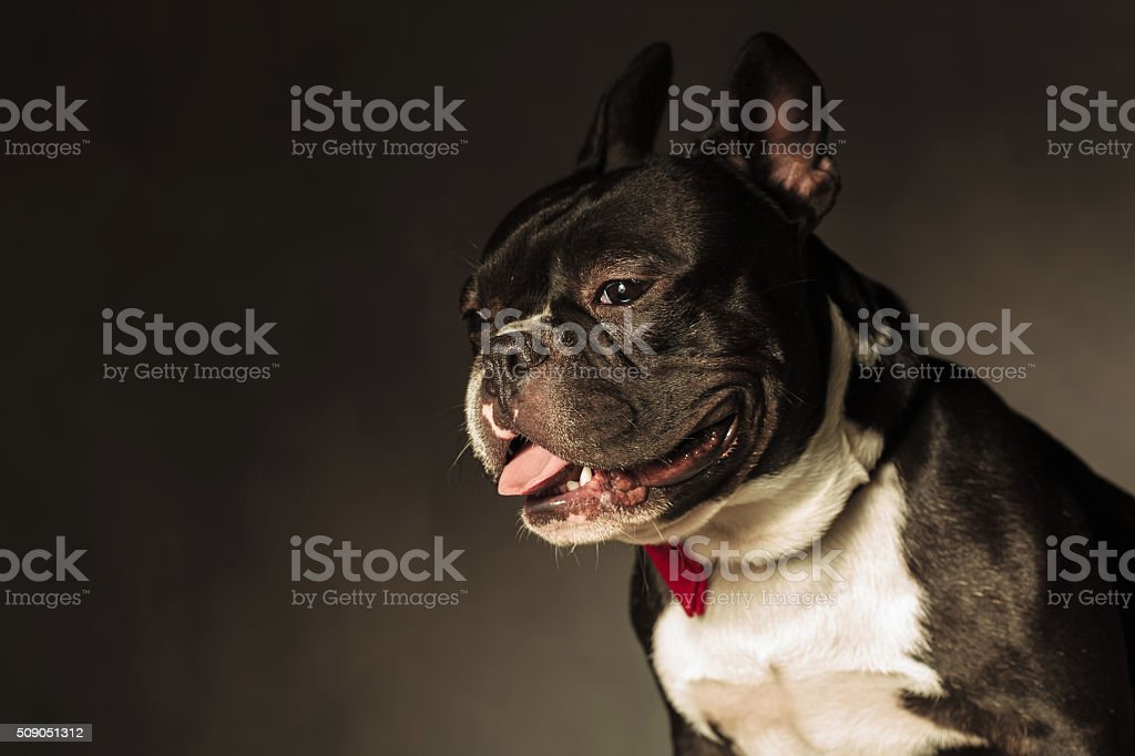 side view of a cute french bulldog with mouth open stock photo