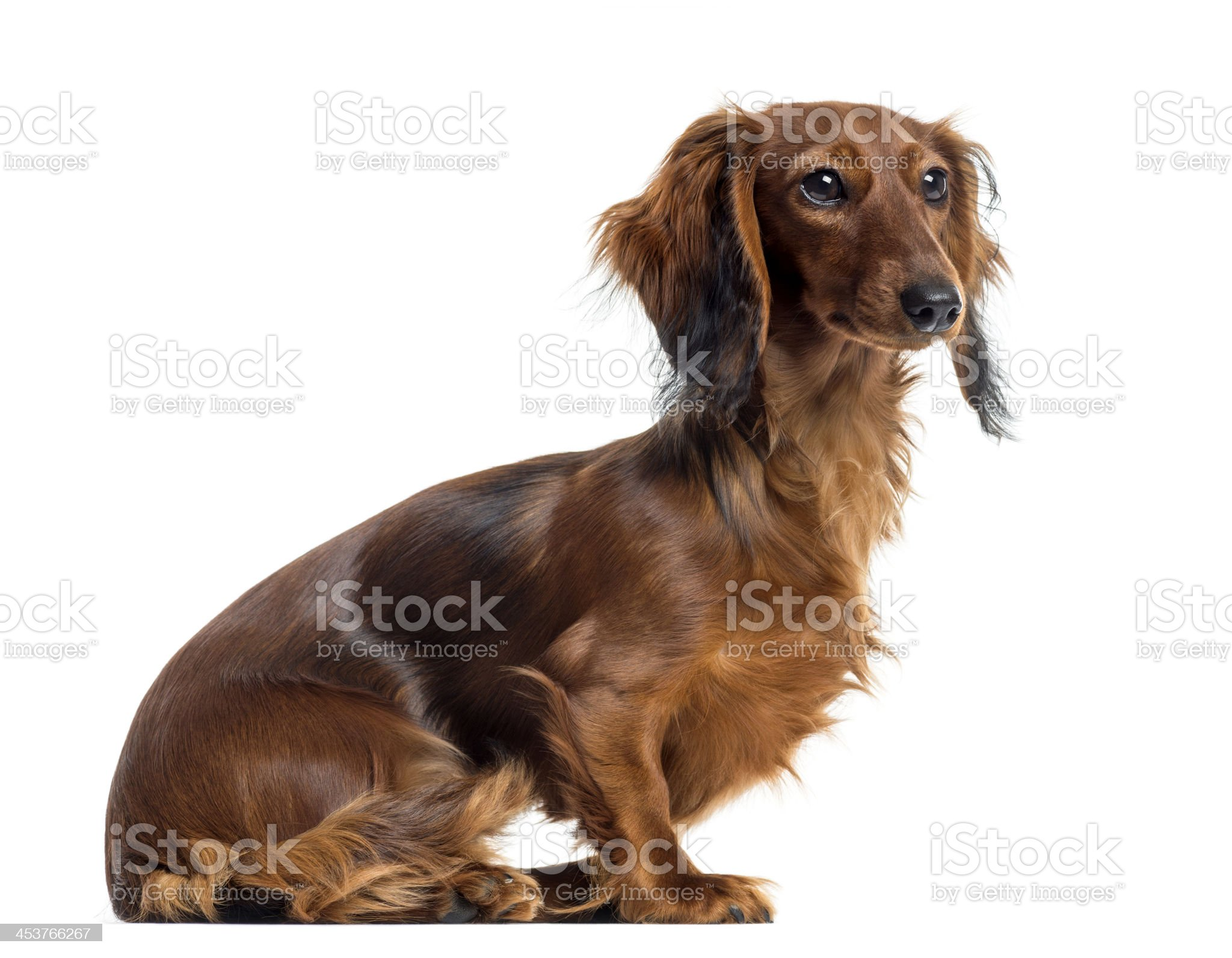Side view of a Dachshund sitting, isolated on white royalty-free stock photo