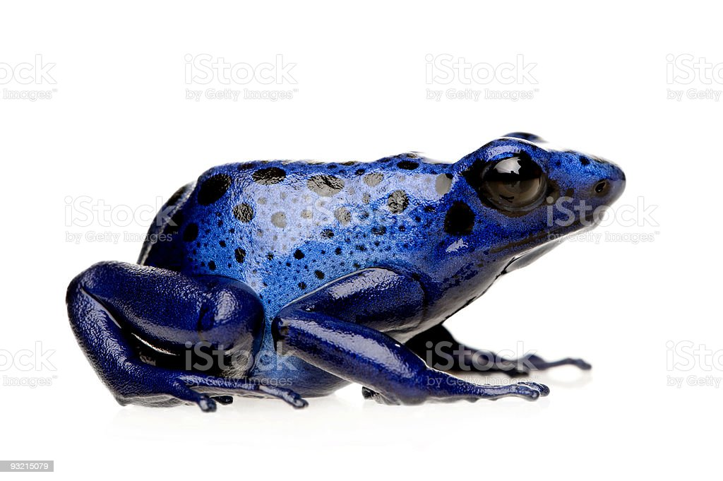 Side view of a Dendrobates Azureus blue frog stock photo
