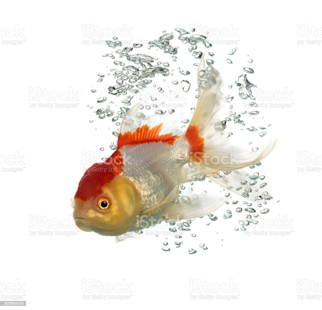 Side view of a diving lion's head goldfish stock photo