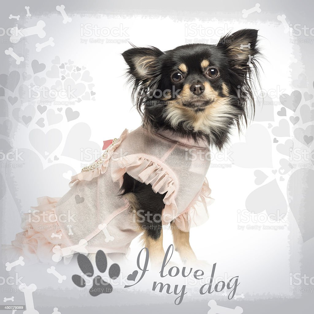 Side view of a dressed up Chihuahua sitting royalty-free stock photo