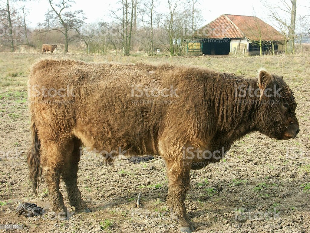 Side view of a Galloway steer stock photo