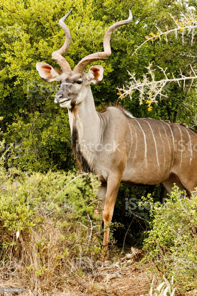 Side View of a Greater Kudu stock photo