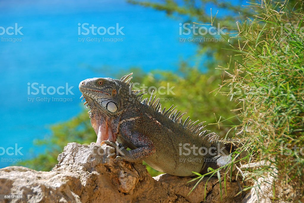 Side view of a Green Iguana resting on rocks stock photo