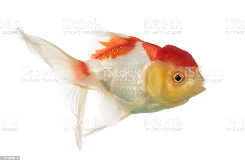 Side view of a lion's head goldfish isolated on white stock photo