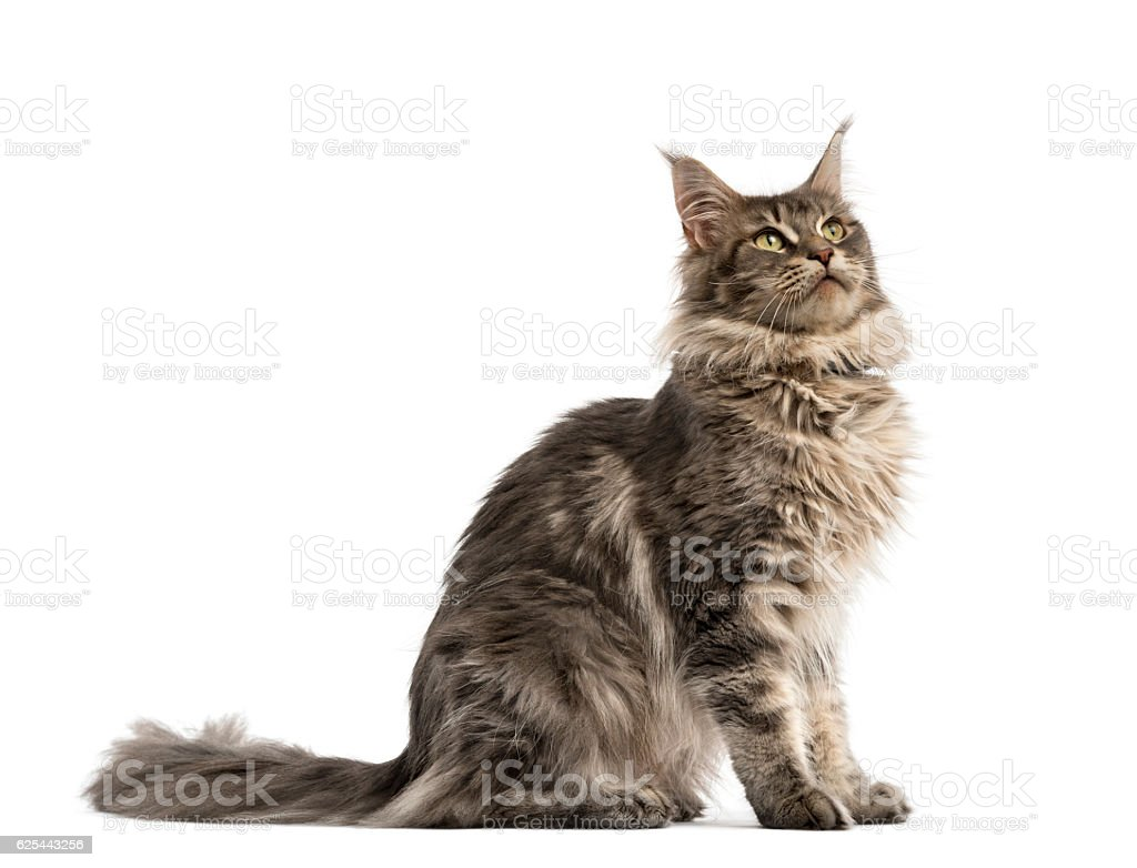 Side view of a Maine coon sitting isolated on white stock photo